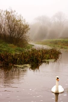 Swan On River With Fog Royalty Free Stock Photography