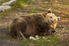 Free Sleeping Brown European Bear Stock Image - 3698131
