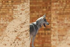 Free Husky Dog Stock Images - 3698634