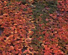 Free Ivy Wall Royalty Free Stock Photos - 3698998
