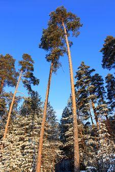 Free Pine Stock Photography - 3699752