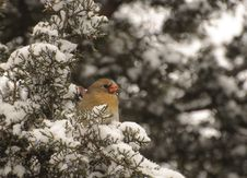 Free Winter Cardinal Royalty Free Stock Image - 36962866