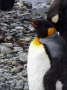 Free King Penguin XI Stock Photo - 372610
