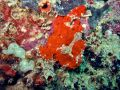 Free Red Frogfish Stock Photography - 376762