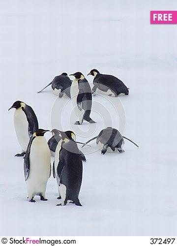 Penguin XXIII Stock Photo