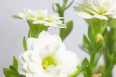 White Double-flowering Kalanchoe Stock Photos
