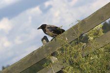 Free Crow Royalty Free Stock Photos - 373588