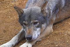 Free Wolf At Rest Stock Photography - 374732