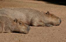 Free Two Capibarras Stock Photos - 375233