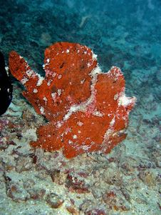 Free Ugly Frogfish Royalty Free Stock Image - 376806