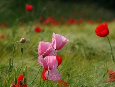Pink Poppies Royalty Free Stock Photo