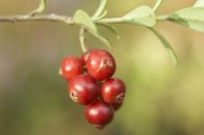 Free Red Berry Royalty Free Stock Photography - 377367