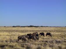 Free Gnus In The Savanna Stock Photo - 378930