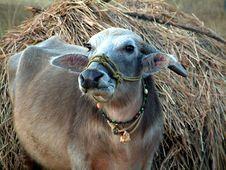 Free Buffalo Stock Photos - 379103