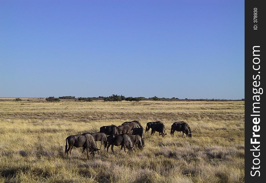 Gnus in the savanna