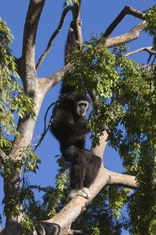 Free White Handed Gibbon Stock Image - 3700201