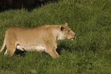 Lioness Stalking Prey Royalty Free Stock Photo