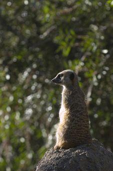 Free Slender Tailed Meerkat Stock Photo - 3700640