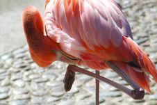 Free Pink Flamingo Preening Royalty Free Stock Image - 3701906