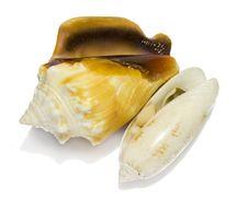 Two Small Seashells Stock Photography