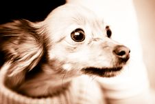 Free Small Dog 5 Royalty Free Stock Photos - 3703908