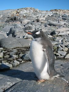Free Gentoo Penguin At Peterman Island Stock Image - 3704101