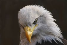 Free White-Tailed Eagle Stock Image - 3705281