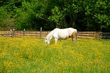 Free White Horse Grazing In A Field In Spring Royalty Free Stock Photos - 3705378