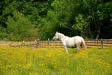Free White Horse Grazing In A Field In Spring Royalty Free Stock Photos - 3705398