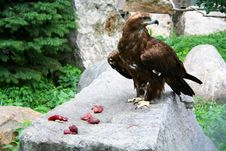 Free Eagle Stock Photography - 3705582
