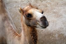 Free Camel Stock Photography - 3705592