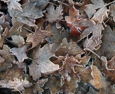 Free Frosty Leaves Stock Photos - 3707163