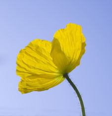 Free Yellow Iceland Poppy Stock Images - 3707744