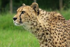 Free Cheetah Royalty Free Stock Photos - 3707908