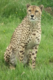 Free Cheetah 3 Royalty Free Stock Photography - 3708067