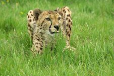 Free Cheetah 4 Stock Photos - 3708073