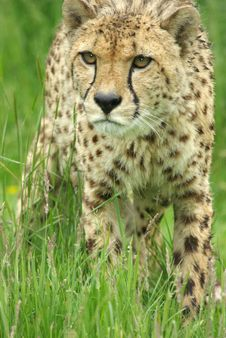 Free Cheetah 5 Royalty Free Stock Image - 3708076