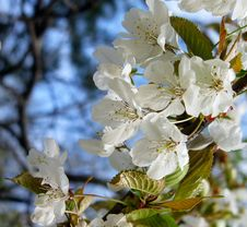 Cherry Tree Branch In Bloom Stock Images