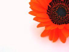 Free Gerber Blossom Stock Photo - 3710670