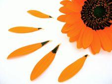Free Gerber Blossom Stock Image - 3711061