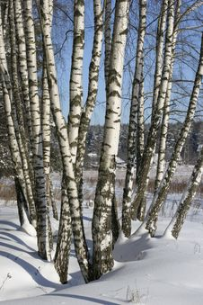 Free Birches In Winter Stock Photography - 3711132