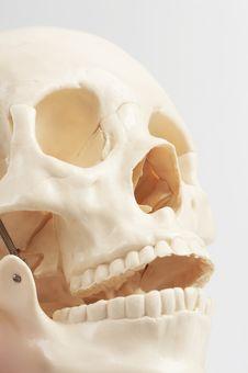 Human Skull Model Royalty Free Stock Photos