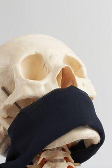 Human Skull Model Royalty Free Stock Image