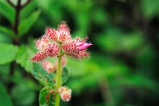 Free Hairy Pink Flower Buds Royalty Free Stock Photo - 3711875