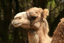 Free Serious Camel Royalty Free Stock Images - 3711909