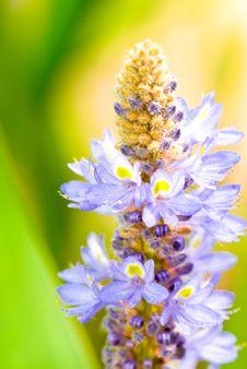 Free Pontederiaceae Royalty Free Stock Photo - 3712395