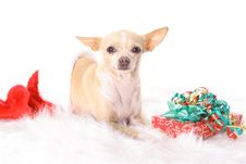 Chihuahua In A Stocking Stock Photography