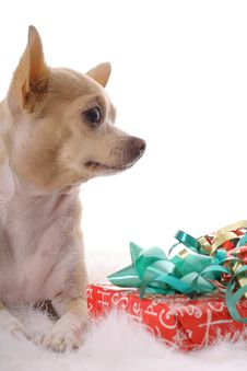 Free Chihuahua Baby Christmas Vertical Royalty Free Stock Photography - 3713207