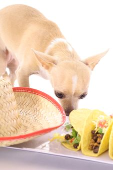 Free Mexican Chihuahua Vertical Stock Photography - 3713232