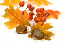 Free Chestnuts Leaves And Berries Royalty Free Stock Image - 3713256